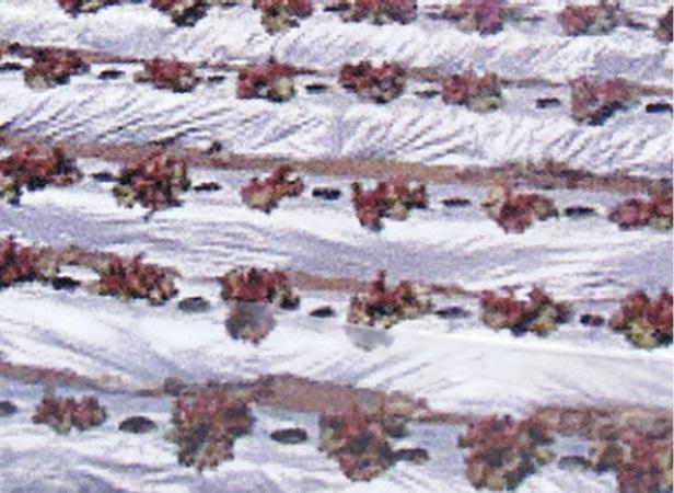 オリジナル国産シルバーマルチ